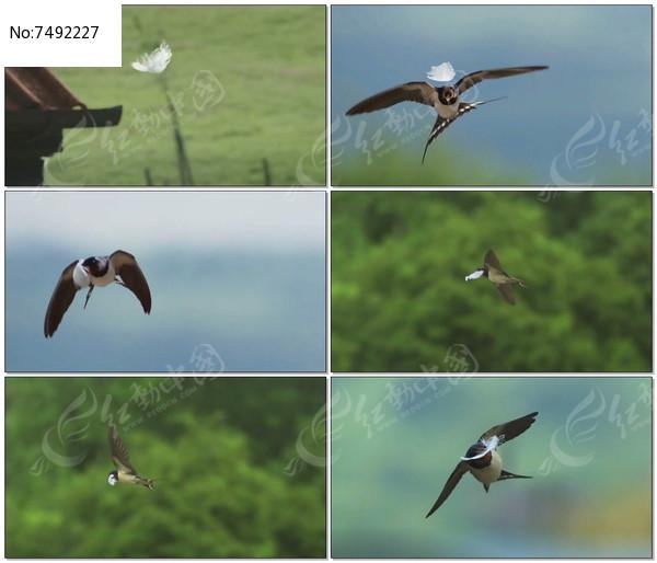 燕子空中飞行慢镜头视频