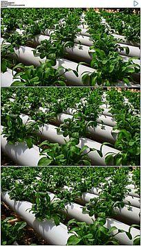种植绿色大棚蔬菜实拍视频素材