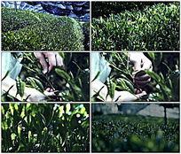 茶叶种植园摘茶叶视频