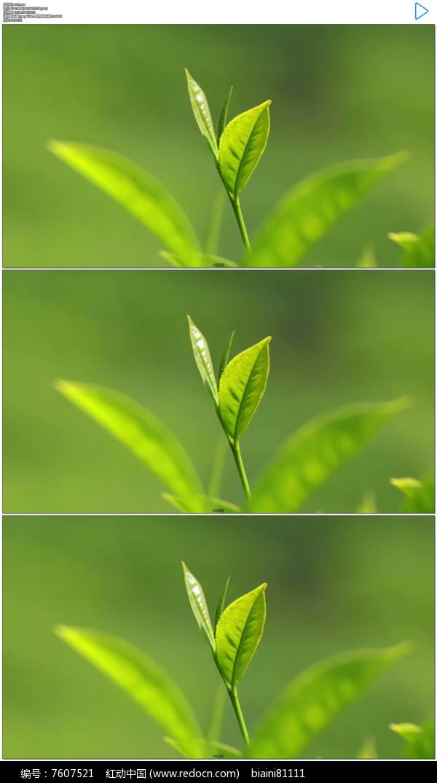 绿色茶树叶子实拍视频素材
