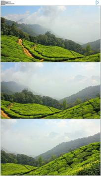 印度茶山茶树实拍视频