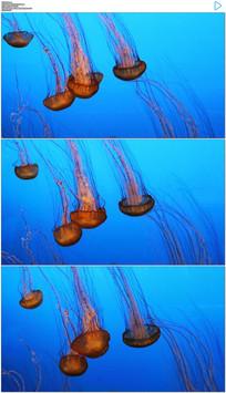 海洋游动的水母实拍视频 mov