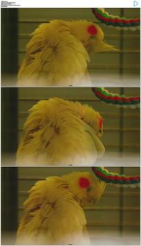 黄色鹦鹉整理羽毛实拍视频