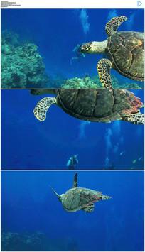 蓝色海洋游动的乌龟实拍视频