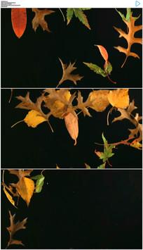 枫叶飘落视频素材