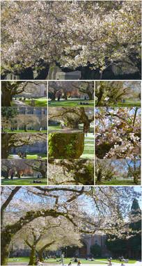 4K超清校园樱花盛开实拍素材