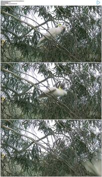 4K树枝上鹦鹉展翅起飞实拍视频素材
