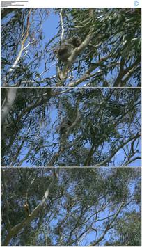 4k澳大利亚树上的考拉实拍视频素材