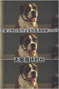 小狗狗卖萌吐舌头点头循环视频