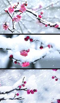 雪中红梅视频 avi