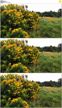 4K澳大利亚草丛鲜花实拍视频素材
