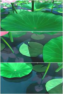 唯美荷塘荷叶荷花叶片叶子细节特写视频