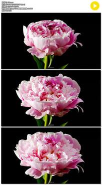 牡丹花盛开实拍视频素材