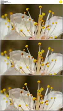 杏花开花实拍视频素材