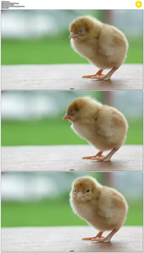 刚孵化的小鸡实拍视频素材