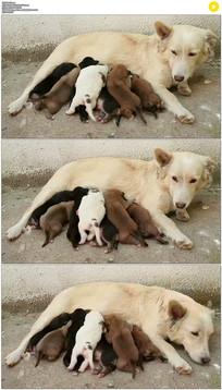 母狗喂奶实拍视频素材