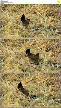 母鸡和小鸡找食物实拍视频素材