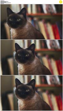 书架前黑猫眨眼实拍视频素材