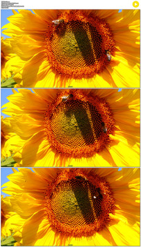 向日葵上的蜜蜂实拍视频素材