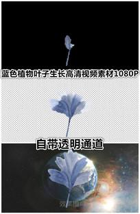 蓝色枫叶海棠花朵叶子展开视频