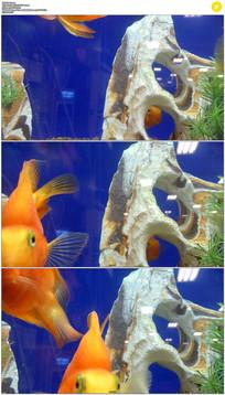 鱼缸里的三条金鱼实拍视频素材