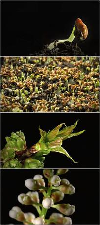 种子发芽植物生长花朵绽放视频