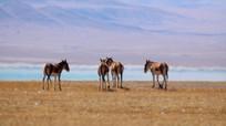 青藏高原的藏野驴实拍素材