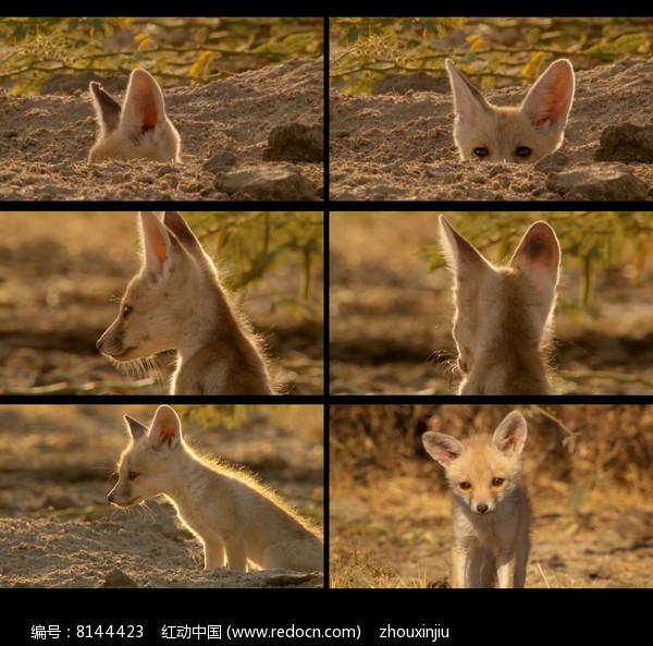 动物世界狼视频