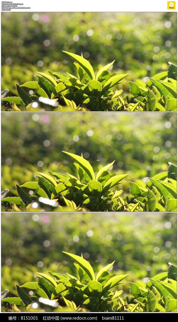茶叶茶树实拍视频素材