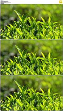 绿色茶树实拍视频素材