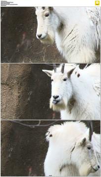 一头白色山羊实拍视频素材