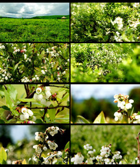 春天花草蓝莓树开花视频