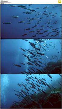 蓝色海水鱼群实拍视频素材 mov