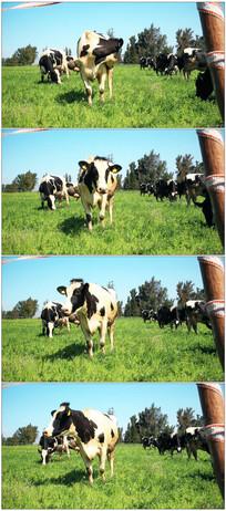 农场绿母牛吃草晒太阳实拍视频素材