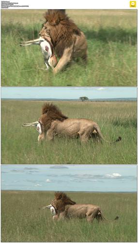 狮子嘴里叼着羚羊实拍视频素材