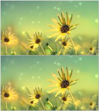 随风摆动向日葵动态背景视频