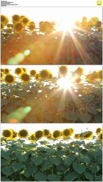 阳光穿过向日葵实拍视频素材