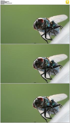 苍蝇蚊子实拍视频素材 mov