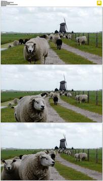 草地上的绵羊实拍视频素材