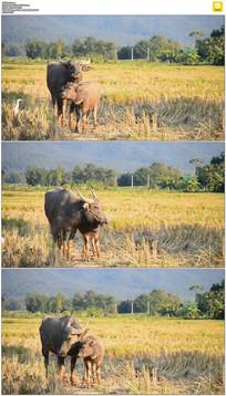 草地上的水牛母子实拍视频素材