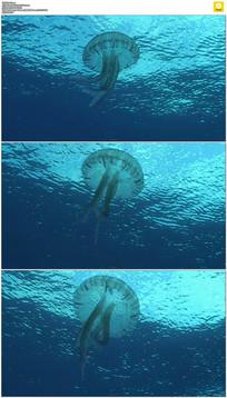 蓝色海洋水母游动实拍视频素材