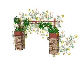 五叶地锦藤蔓植物