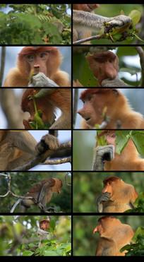 猴子在树上吃树叶视频素材