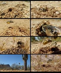 昆虫土蜂视频