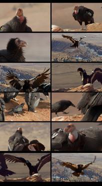 鸟类秃鹰视频