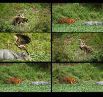 秃鹰和老虎吃动物浮尸视频