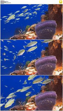 海底鱼群珊瑚礁实拍视频素材