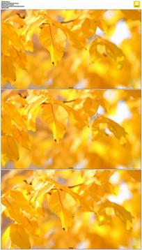 黄色秋天枫叶实拍视频素材