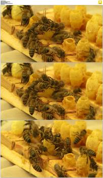 像头采蜜素材视频_蜜蜂采蜜视频下载视频视蜜蜂图片
