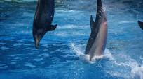 海洋馆海豚跳水表演视频